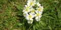 anémone à fleur de narcisse