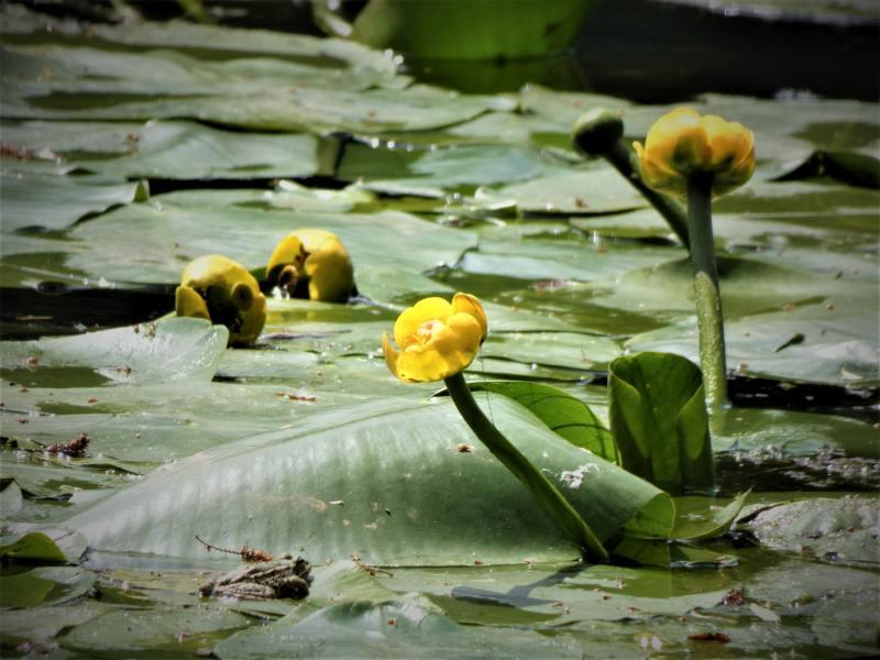 nénuphar jaune