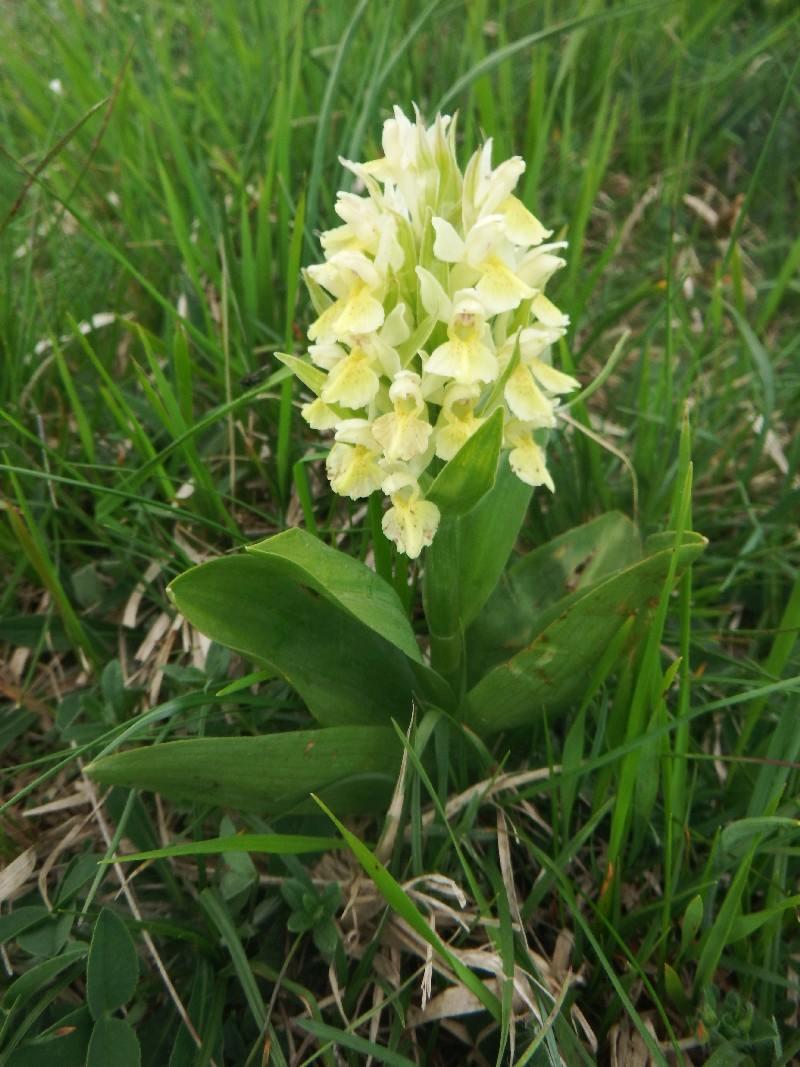 orchis jaune