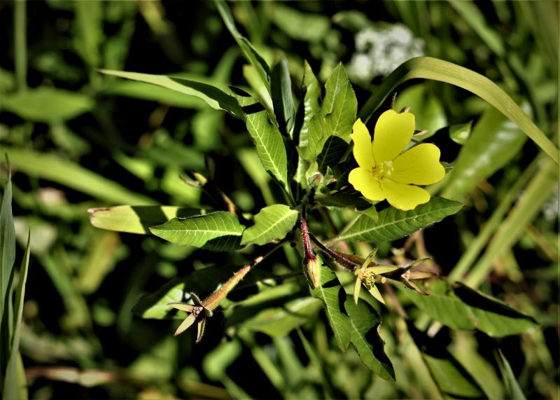 Ludwigia-peploides-2