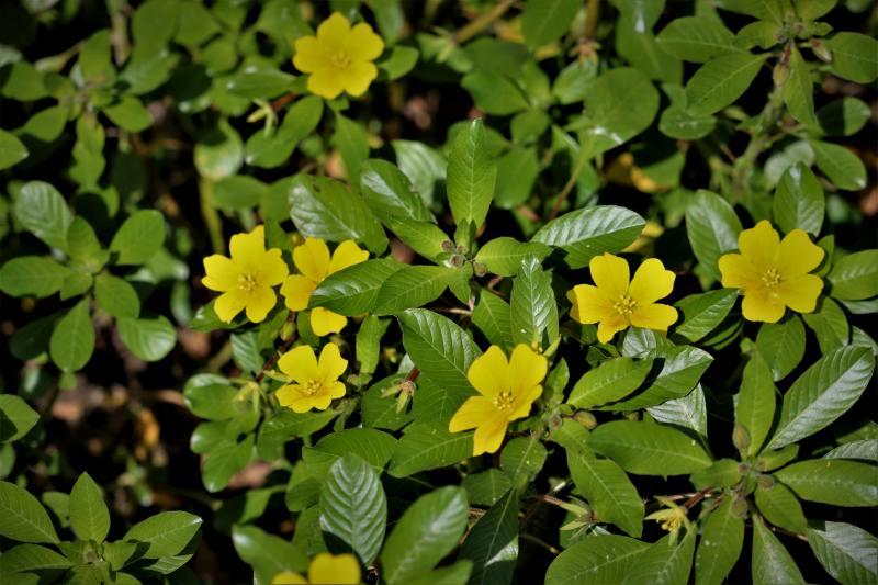 Ludwigia-peploides-3