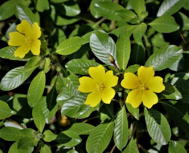 Ludwigia-peploides