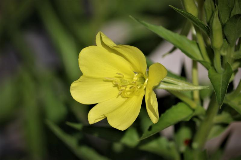 Oenothera-fruticosa