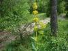Gentiane jaune