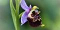 orphys abeille