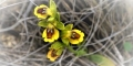 Fleurs-des-Pyrenees_026-619x348